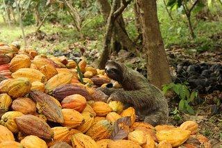 Faultiere fühlen sich in den nachhaltig bewirtschafteten Kakao-Wäldern in Panama und Peru von ForestFinance sehr wohl.