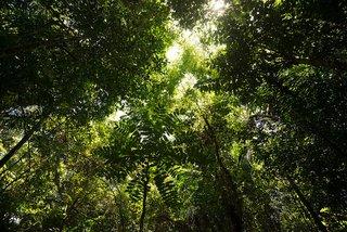 Blick in die Baumkronen eines 20 Jahre alten Mischwaldes von ForestFinance in Panama